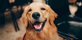 Rescataron perros Golden Retriever - NA